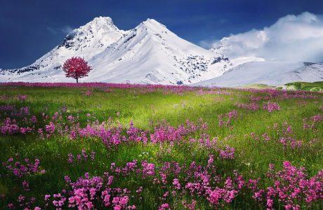 アルプス、雪山、花畑